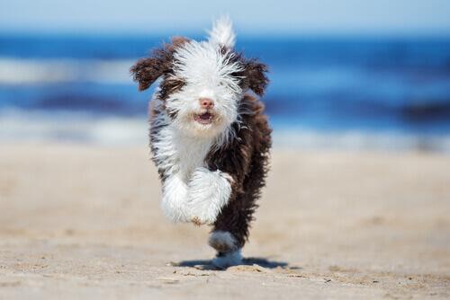 Pentear um cão de água: dicas e conselhos