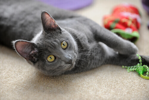 Gato Korat com brinquedos
