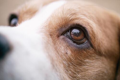 Olhos de um cachorro