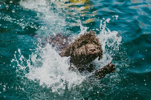 Cão de água nadando