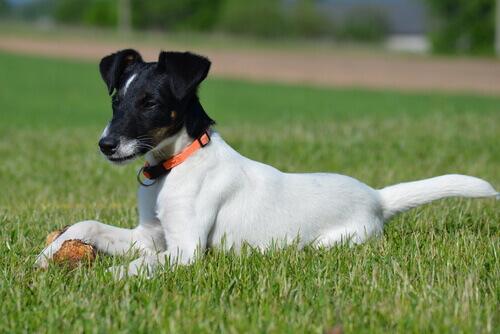O uso de corticoides em cães