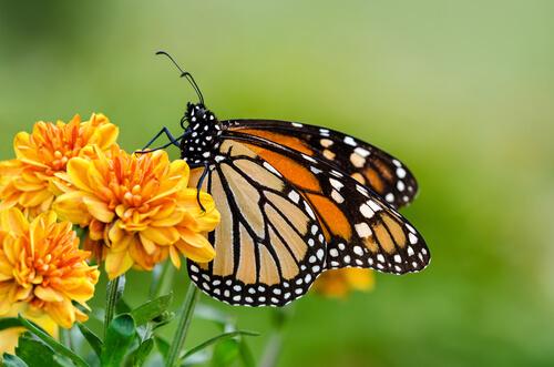 criar borboletas