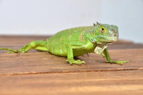 Iguana doméstica