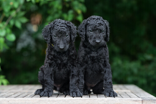 curly coated retriever, cobrador de pelo encaracolado