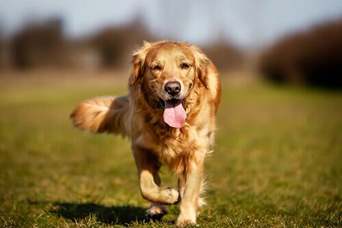 Displasia de cotovelo nos cães: causas, sintomas e tratamento