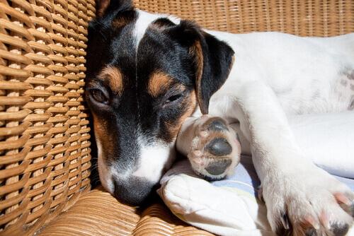 Cachorro com meningite