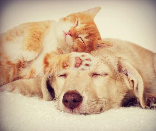 Cachorro e gato dormindo juntos