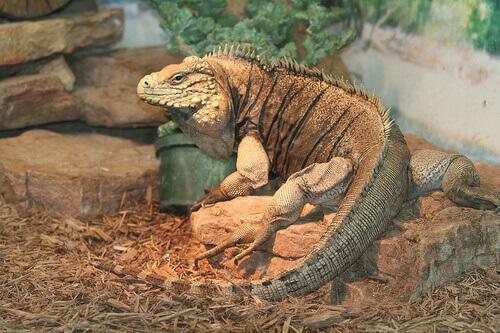 Doenças das iguanas