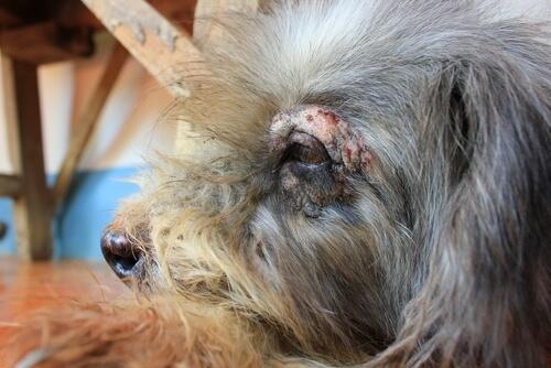 Consequências do prurido canino