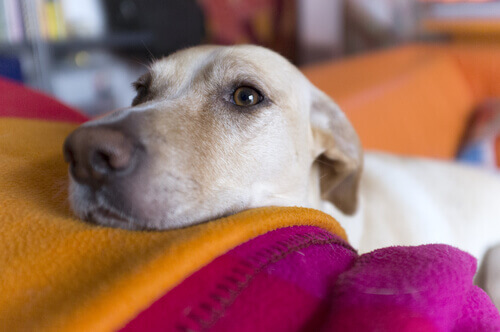 Sintomas da conjuntivite canina
