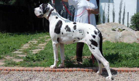 Cão propenso à Síndrome de Wobbler