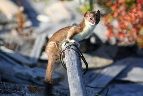 Características da Doninha: comportamento e habitat
