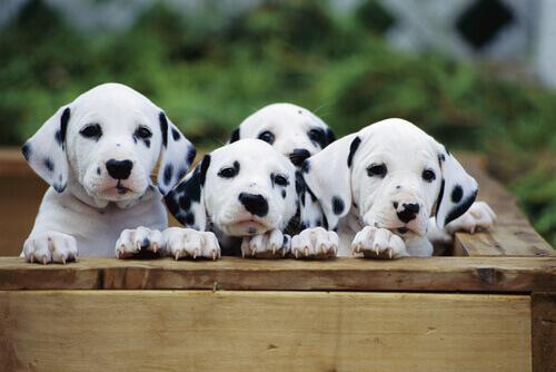 A eclampsia em cães e gatos