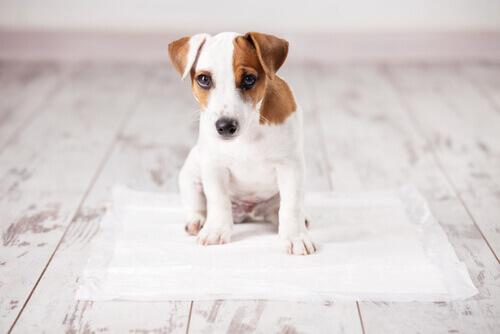 Filhote de cachorro sobre tapete higiênico