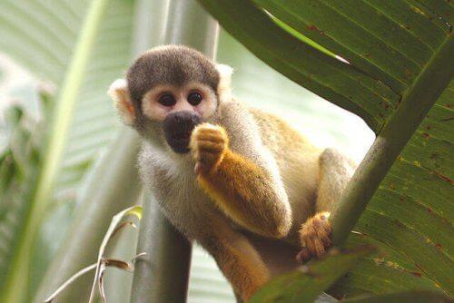 Macaco numa folha de palmeira
