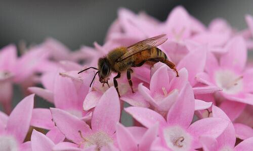 Abelha sobre flores rosa