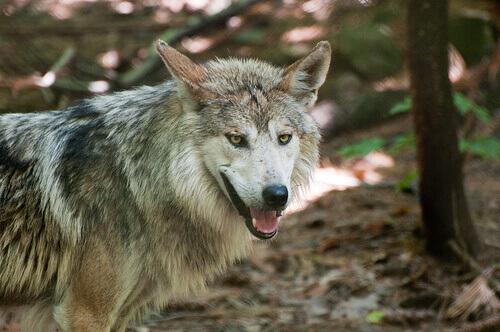 Fazendeiros e lobos: ordenando a convivência