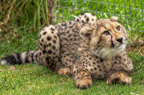 filhote de guepardo