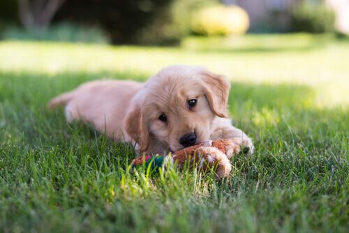 Filhote de cachorro brincando na grama
