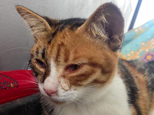 gato com problema no olho