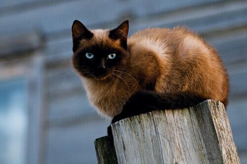 Saiba mais sobre os gatos do grupo IV: Siamês