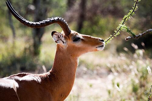gazela-de-thomson