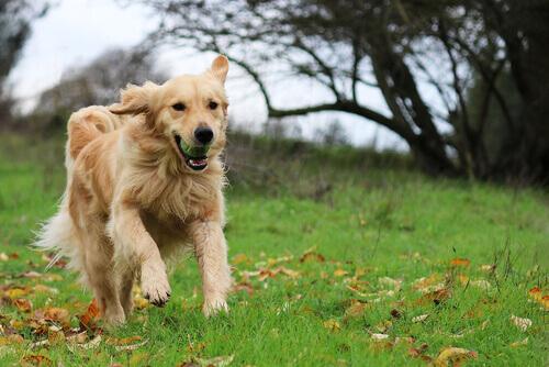 Golden retriever correndo com bola na boca
