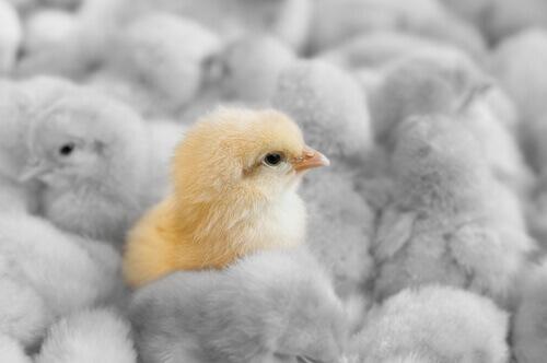 Gripe aviária: impacto nas granjas