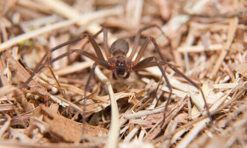 Cuidado com a aranha violinista