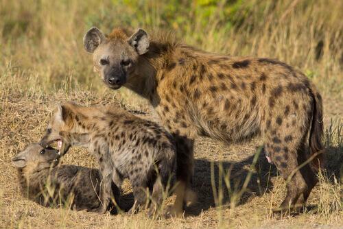hiena e filhotes