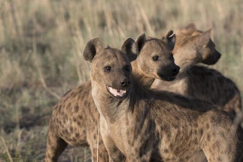 Hiena: características, comportamento e habitat