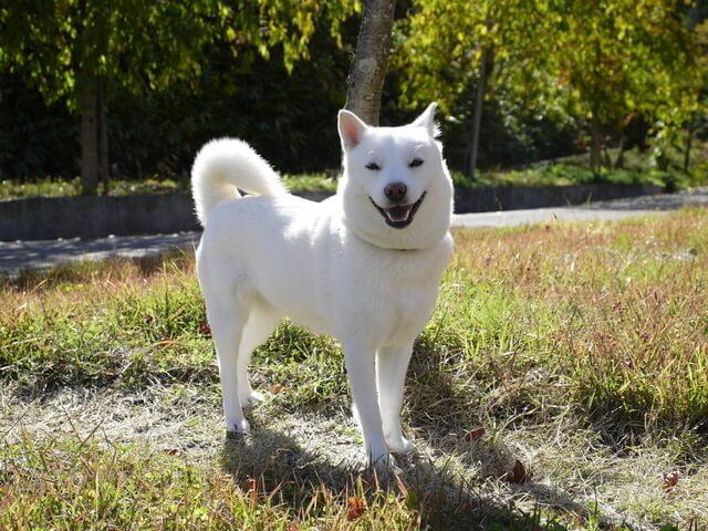 Cachorro branco Hokkaido