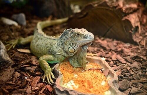 Cuidados básicos com uma iguana