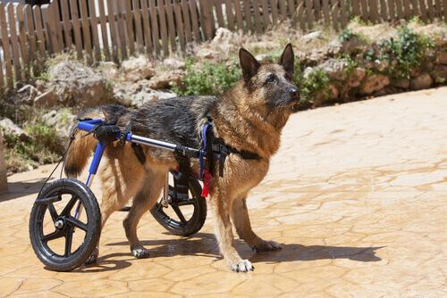 Fraqueza das patas traseiras em cães