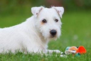 Cachorro com brinquedo na grama