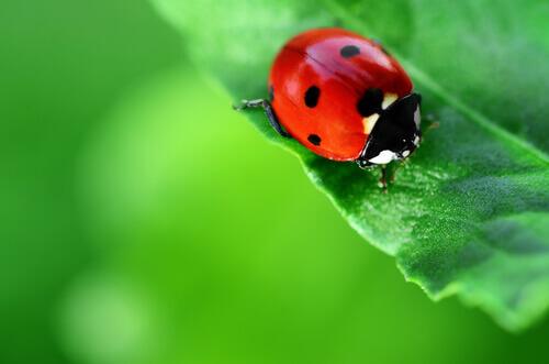 Joaninha vermelha sobre folha