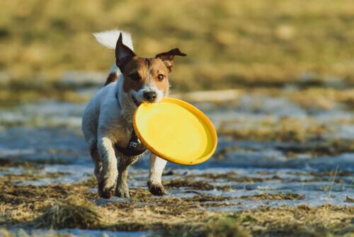 Como jogar frisbie com seu cão?