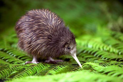 Kiwi: uma ave sem asas