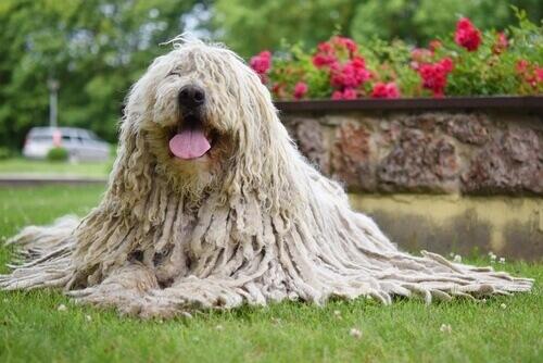 Características do Komondor: conheça esse cão pastor