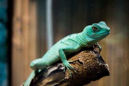 lagarto verde na madeira