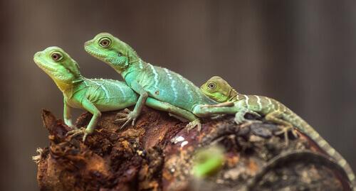 Um animal de estimação curioso: o lagarto