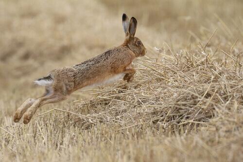 Você sabia que a lebre está em perigo de extinção?