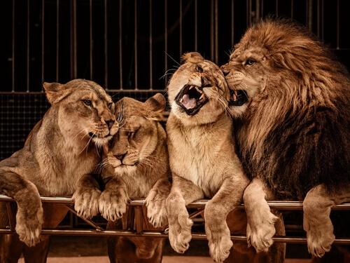 Leão e leoas
