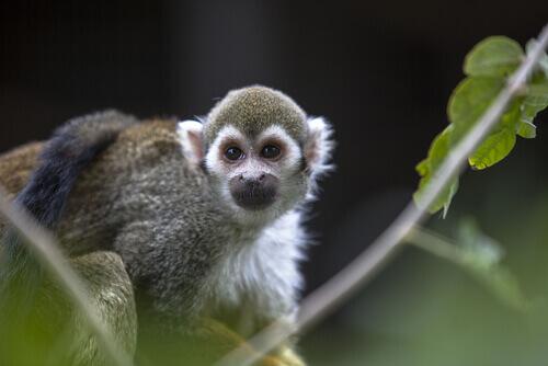 Macaco de estimação: é possível ter um?