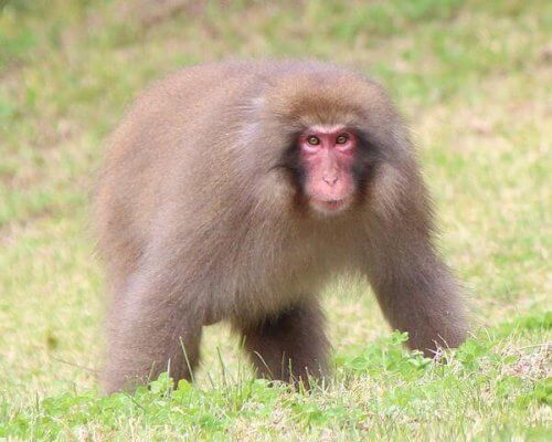 8 espécies de macacos: conheça