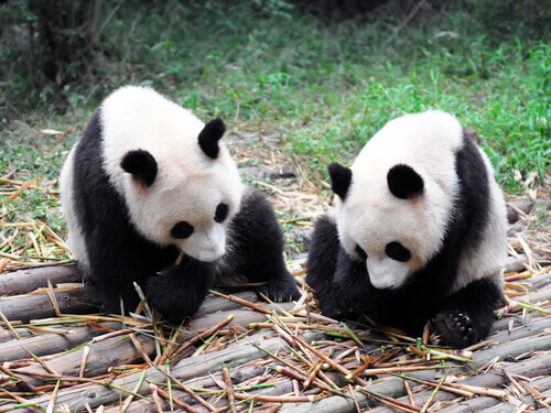 Ursos panda comendo bambu