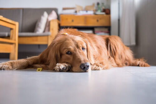 Neoplasia cardíaca em cães, conheça essa rara doença