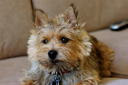 Norwich terrier: conheça essa raça