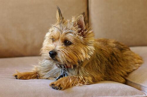 Conheça o Norwich terrier