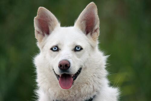 Cachorro com olhos azuis